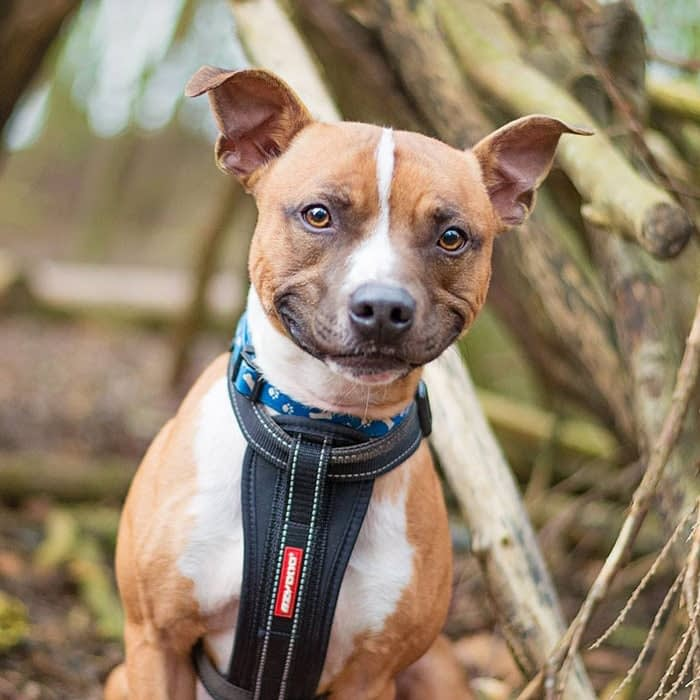 staffy dog with stressed mouth smile