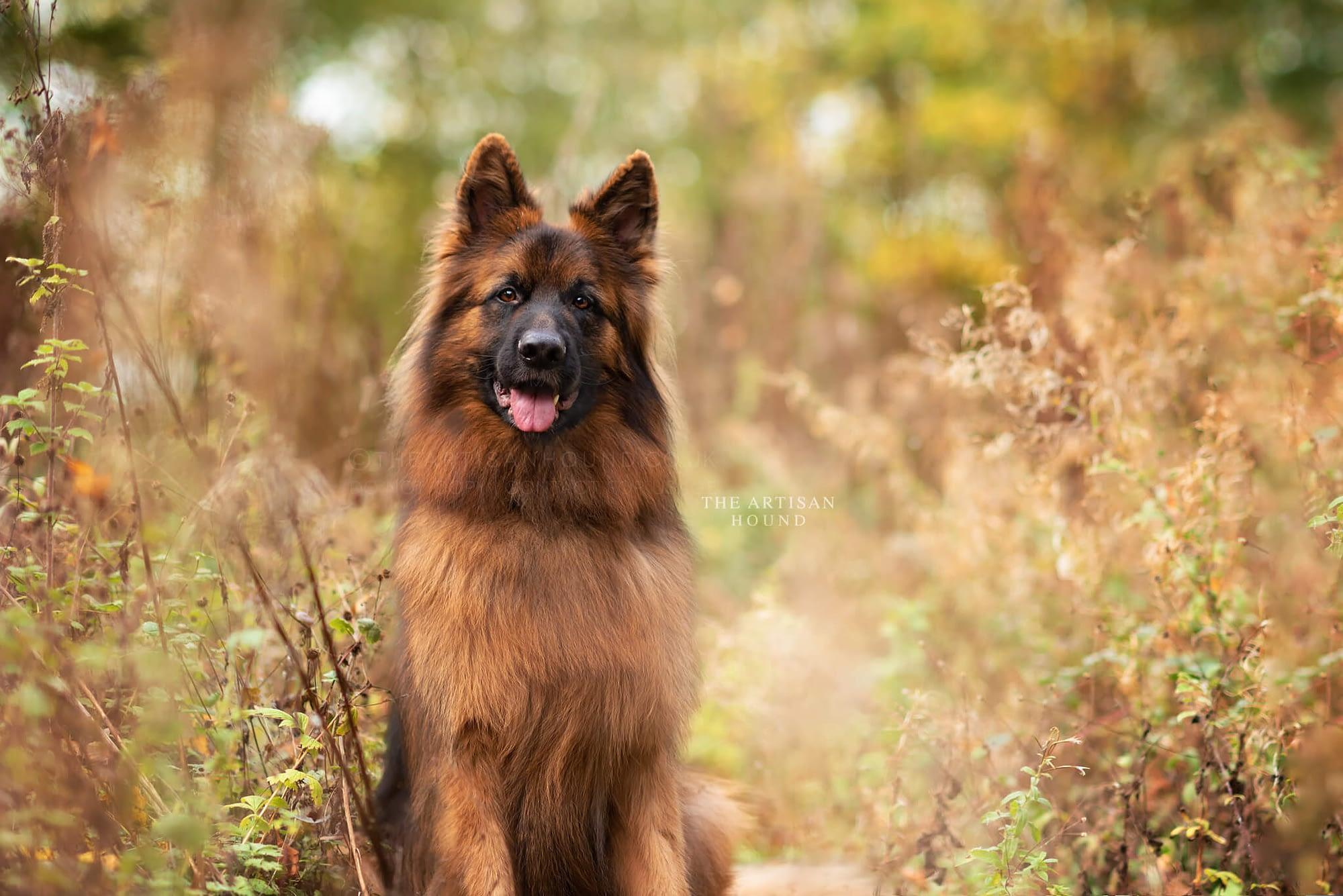 German Shepherd dog sitting in tall grass in Northampton park