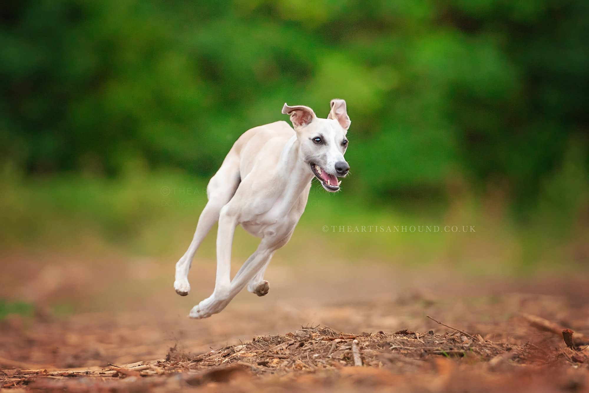 Whippet running in Northamptonshire