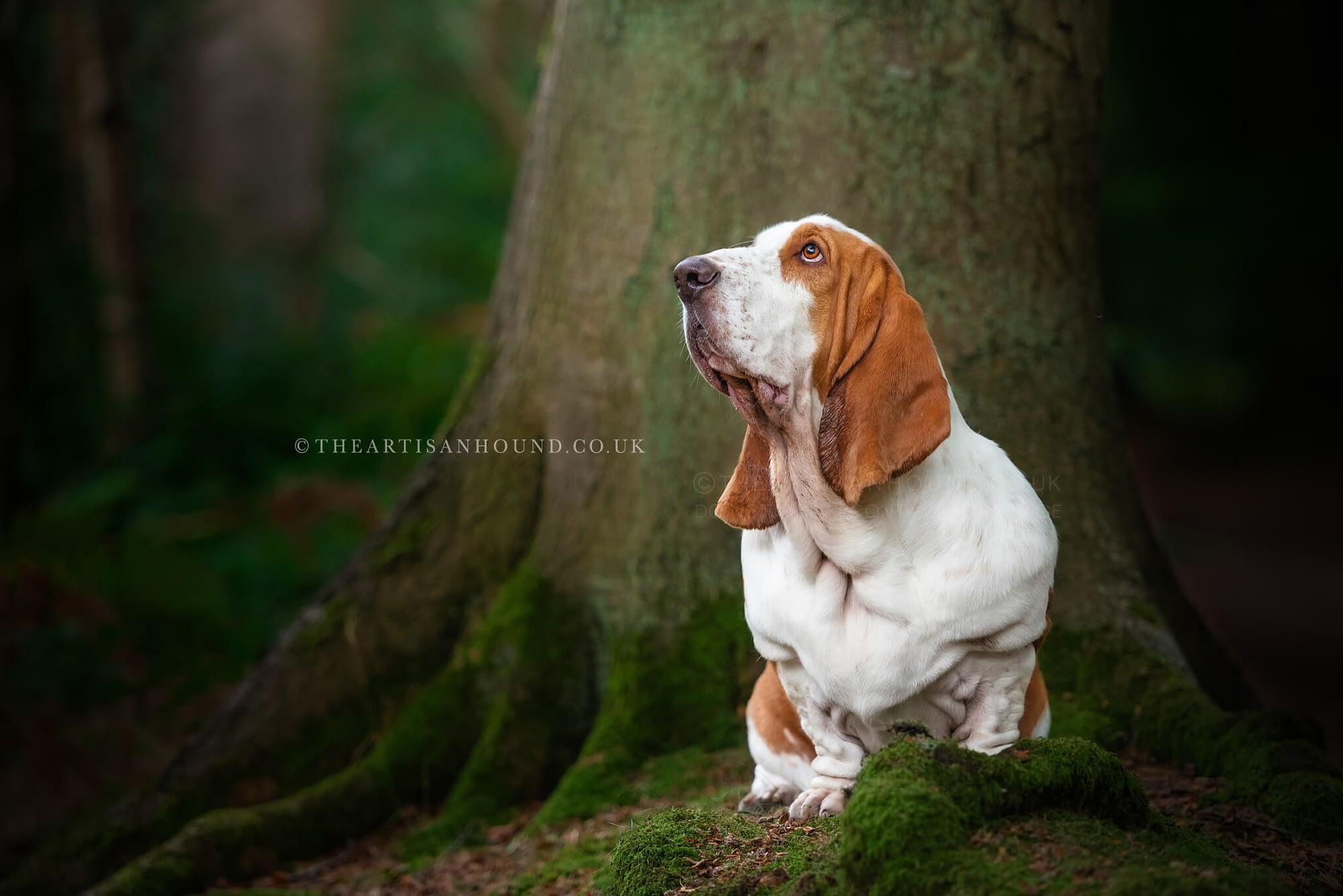 tan white Bassett Hound portrait