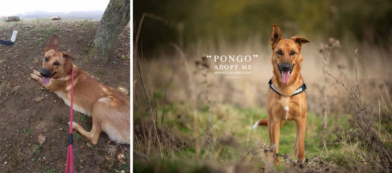 before after photo of GSD crossbreed