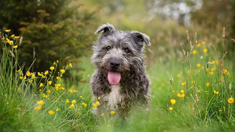 errier dog sitting in meadow in Crick Northants