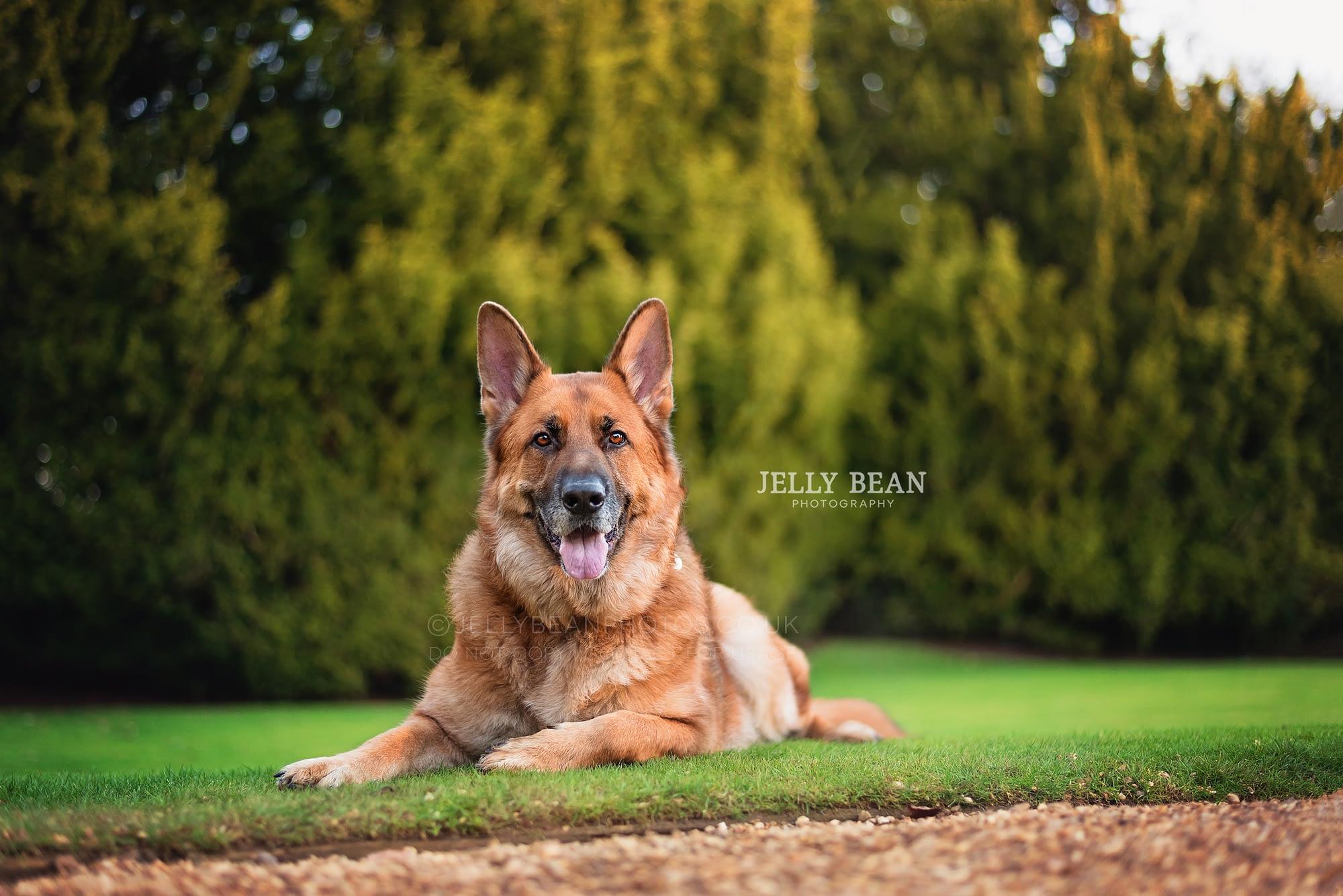 GSD sitting on lawn