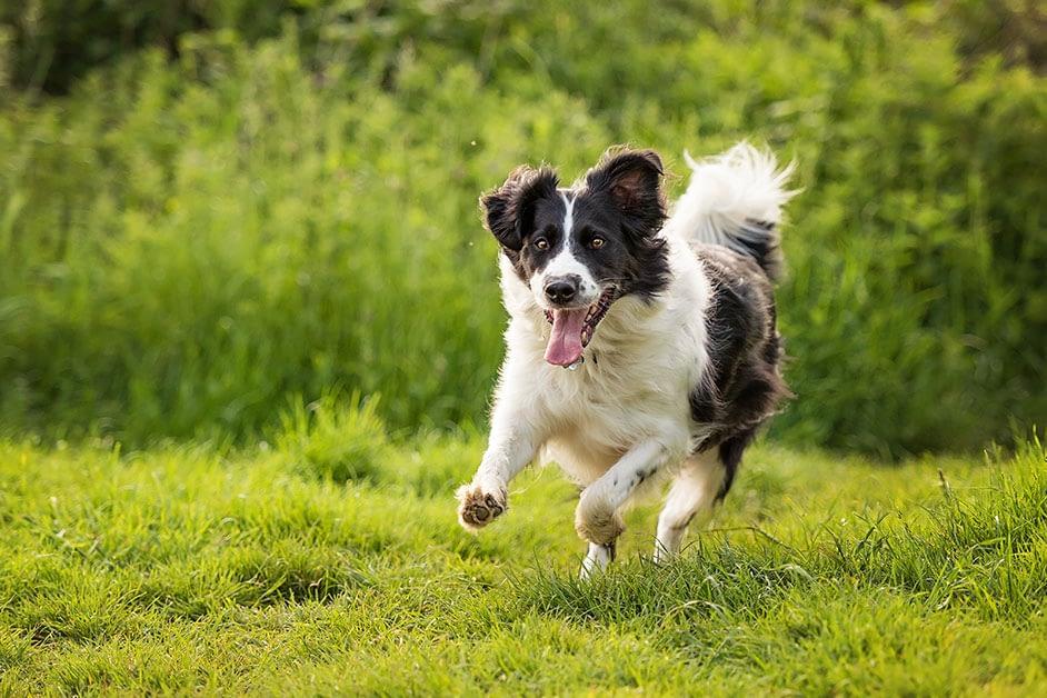 border collie running through summer meadow