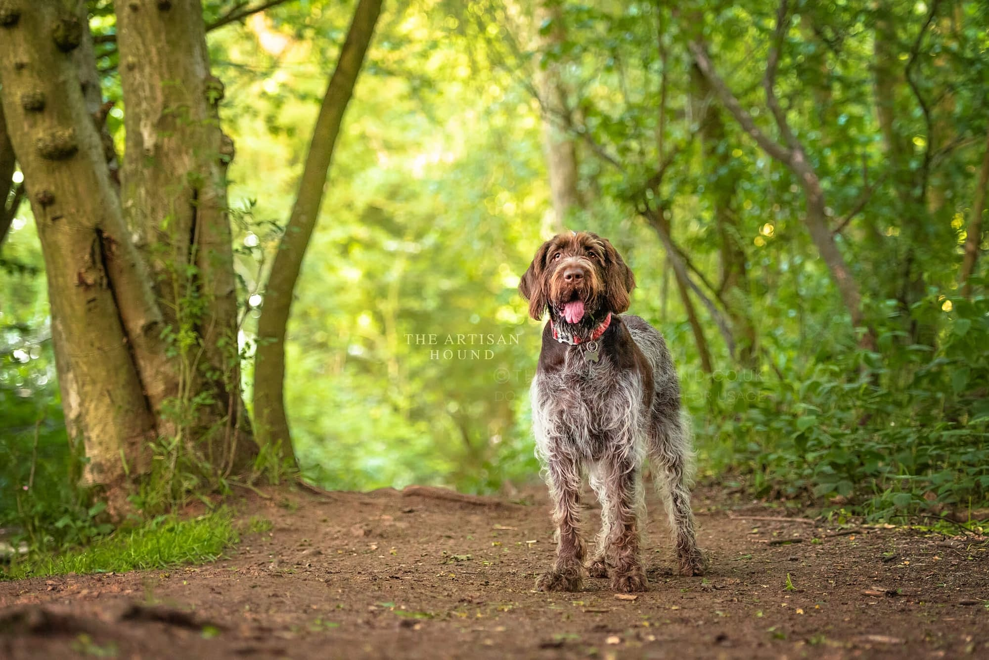 Itlian Spinone standing in clearing in Northamptonshire woods