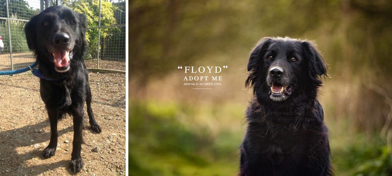 before after photo of black crossbreed dog