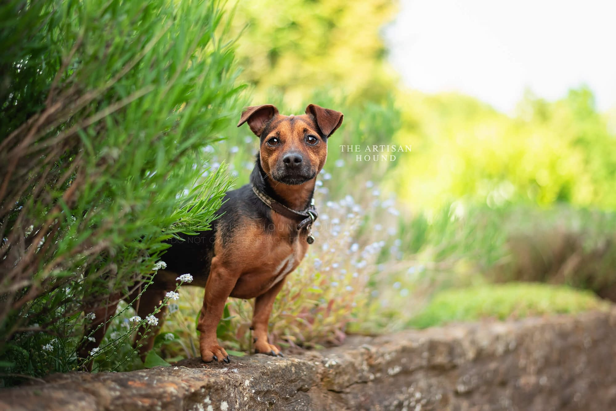 Jack Russell Terrier standing on wall between bushes