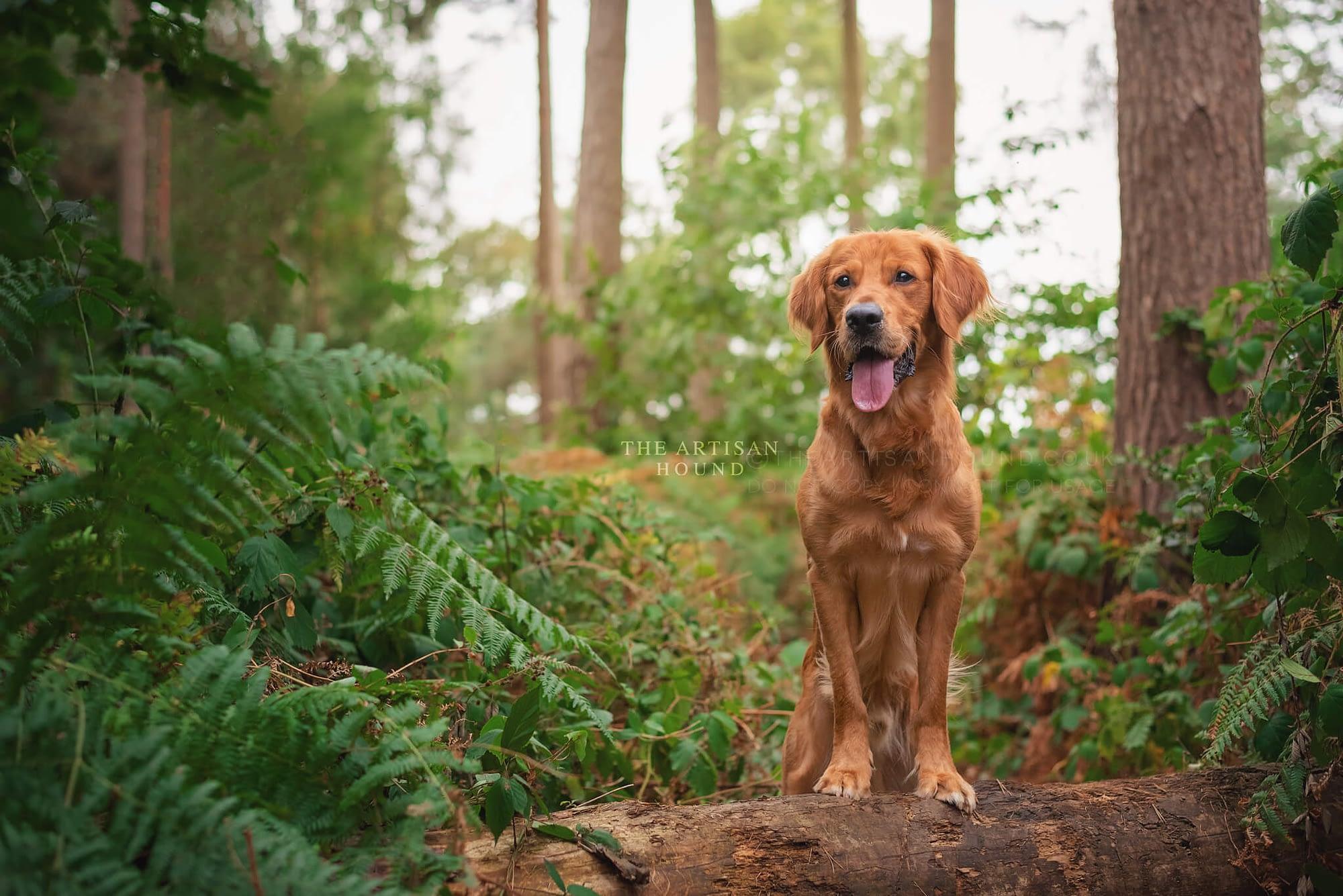 Golden Retriever standing on log among bracken in Harlestone Firs