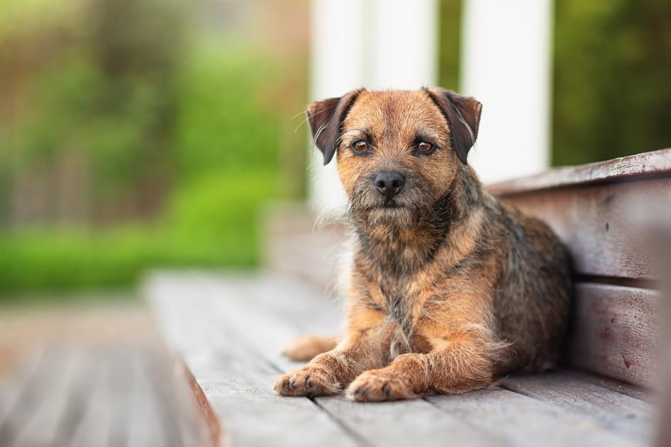 border terrier lying on garden steps