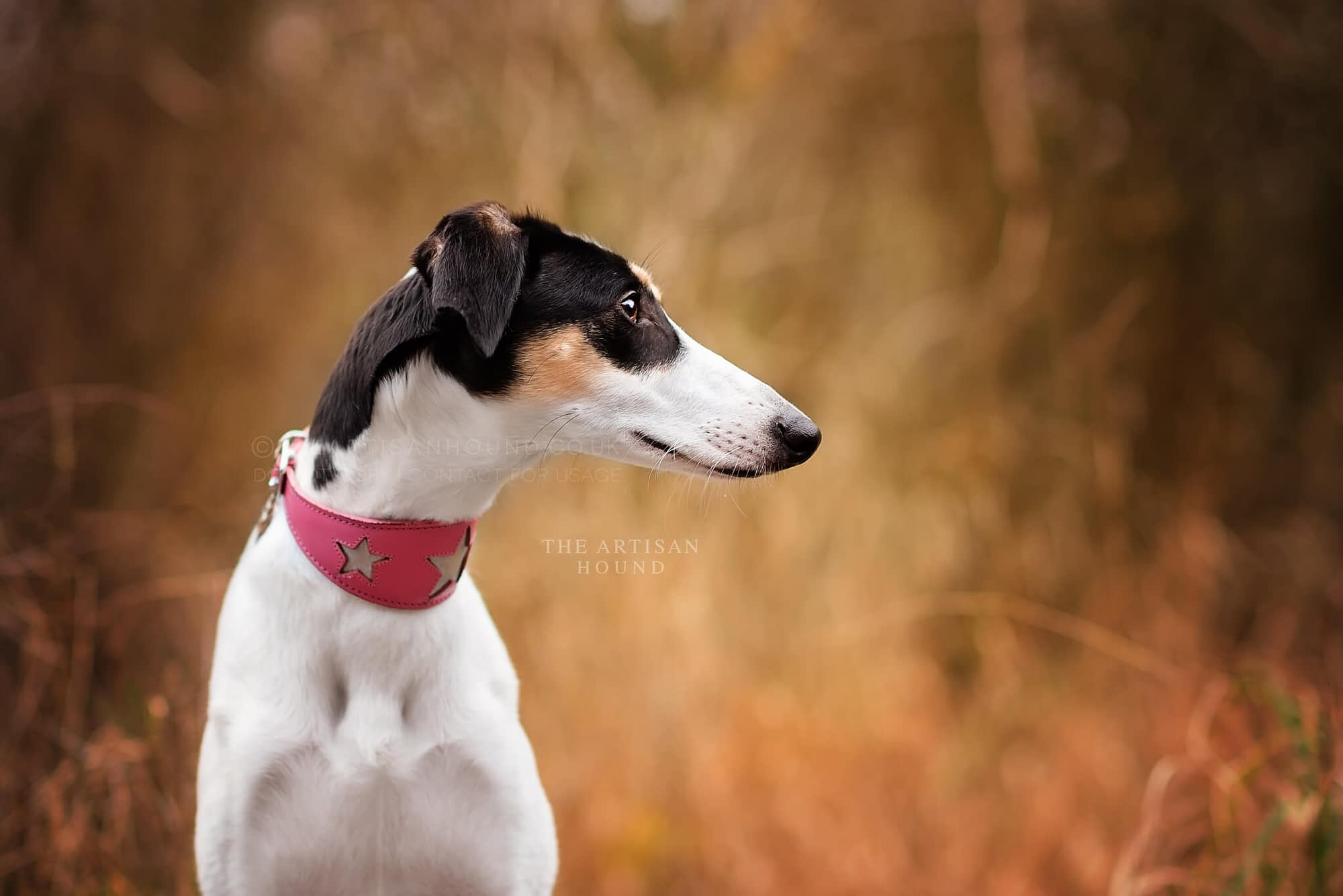 Sighthound posing for photo in Salcey Forest