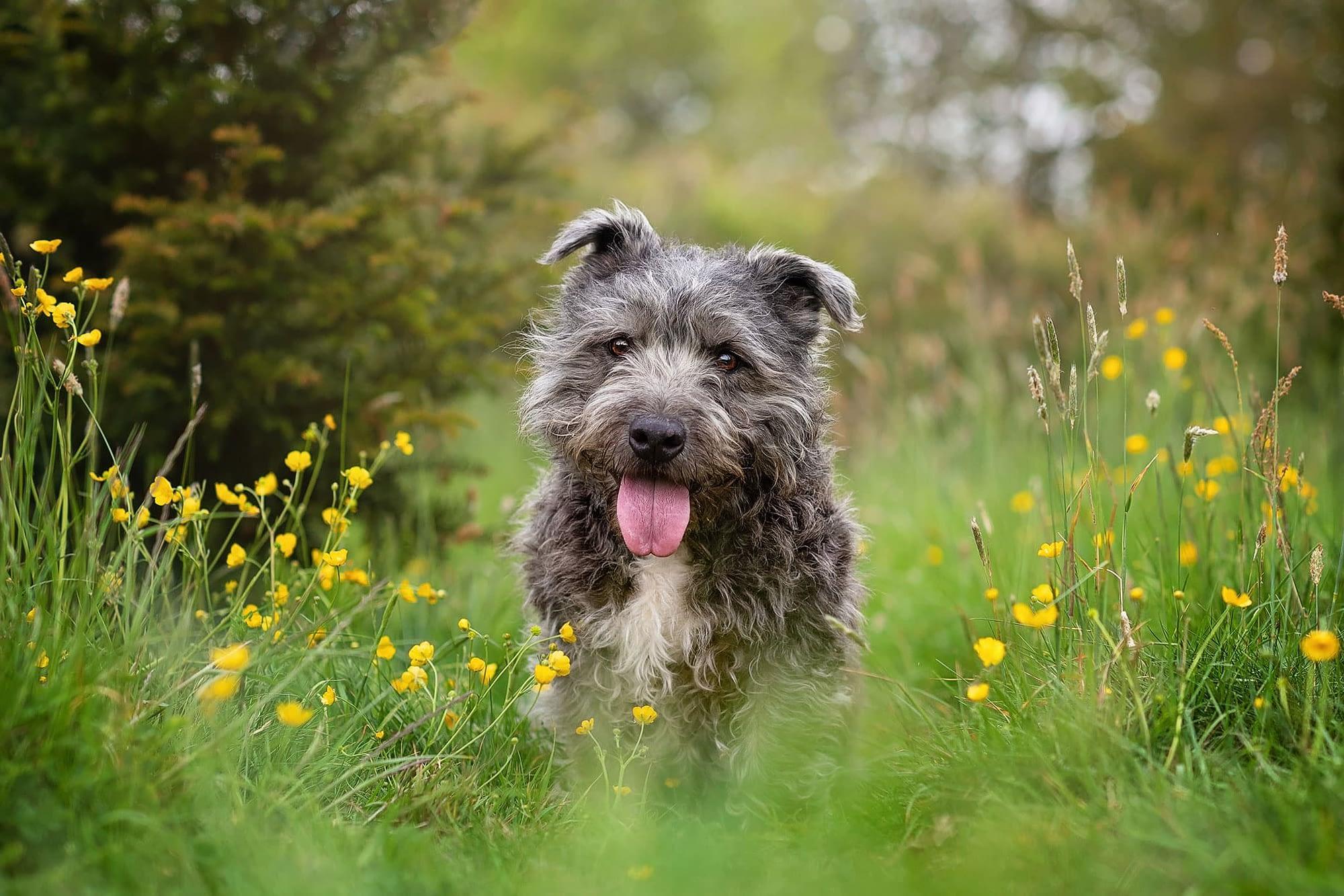 grey terrier in meadow field crick