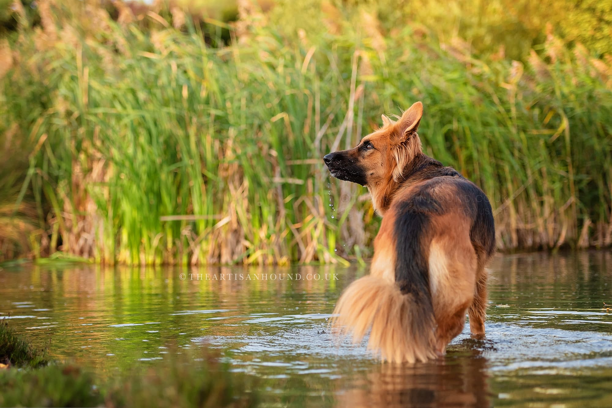 Dog standing in water among reeds