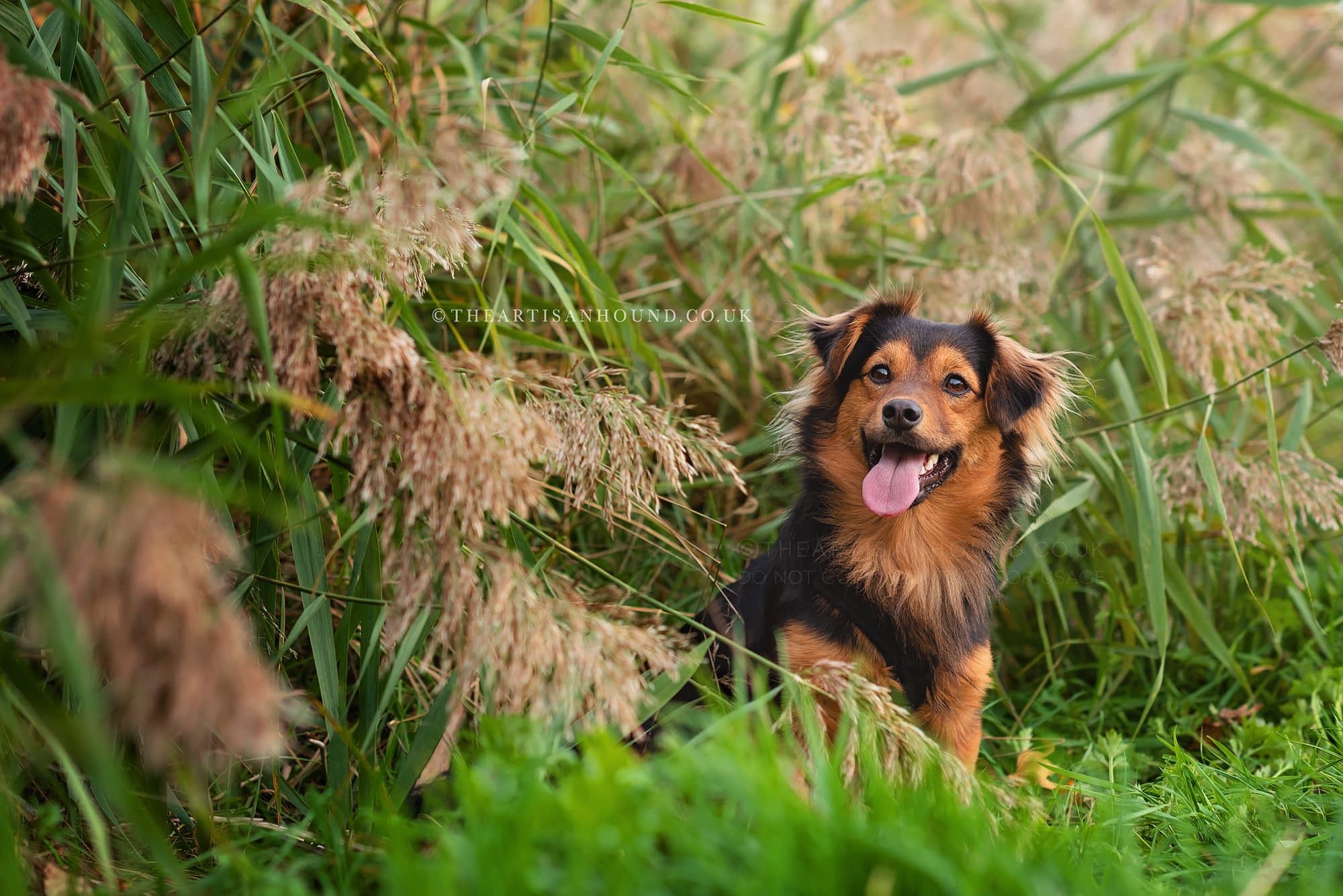 Small black and tan dog sitting on edge of reed bed