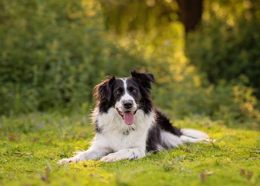 Border Collie lying in summer meadow grass in Northampton