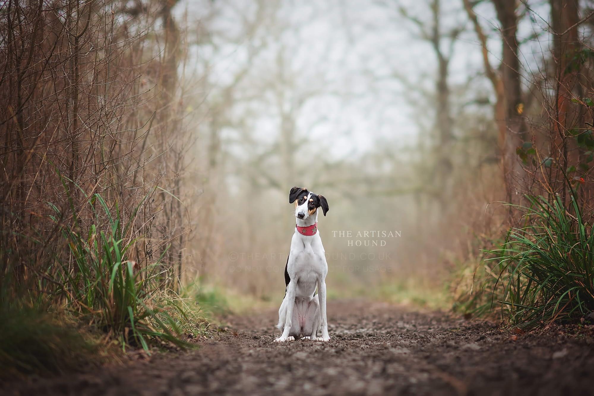 Lurcher dog sitting in woodland walkway in winter