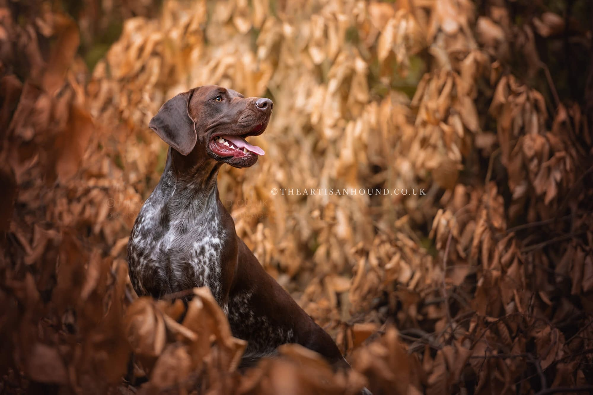 brown GSP dog in autumn leaves