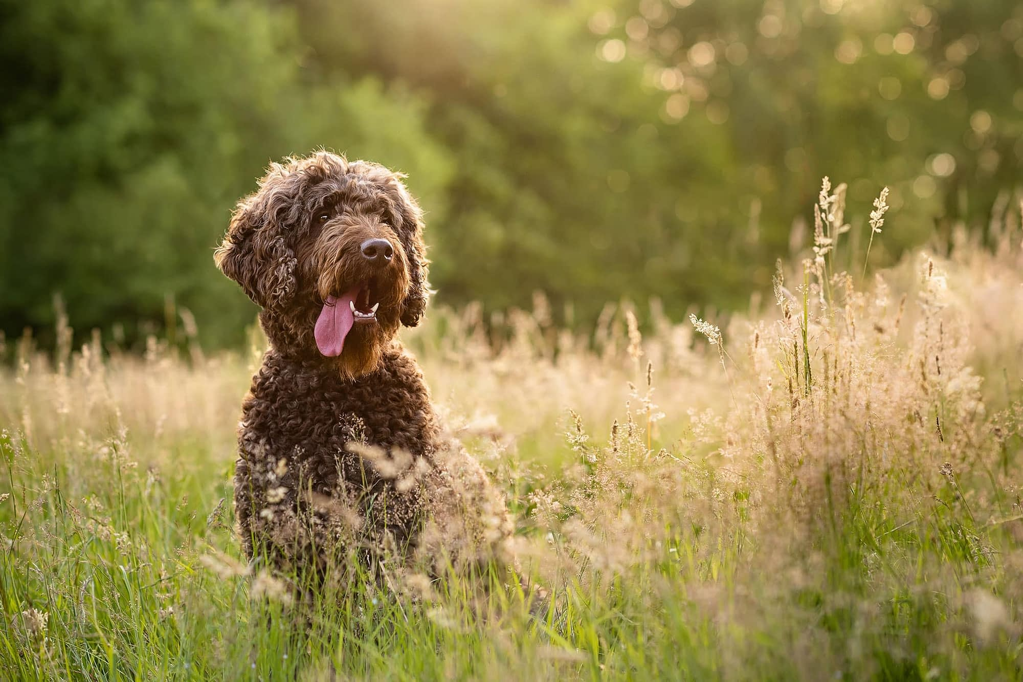 brown labradoodle in brixworth field