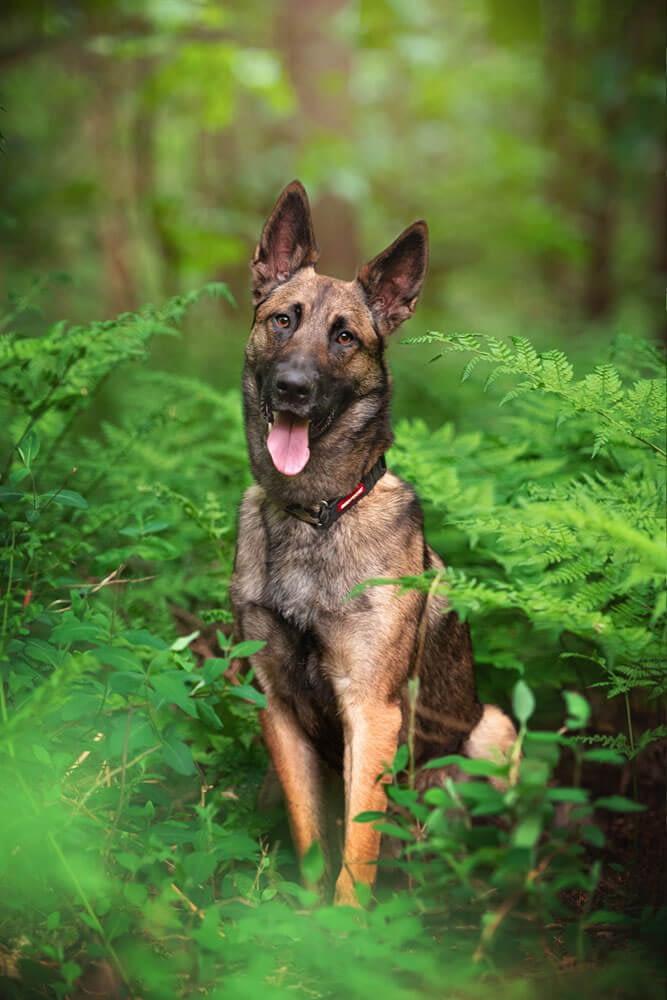 Belgian Malinois dog sitting in bracken