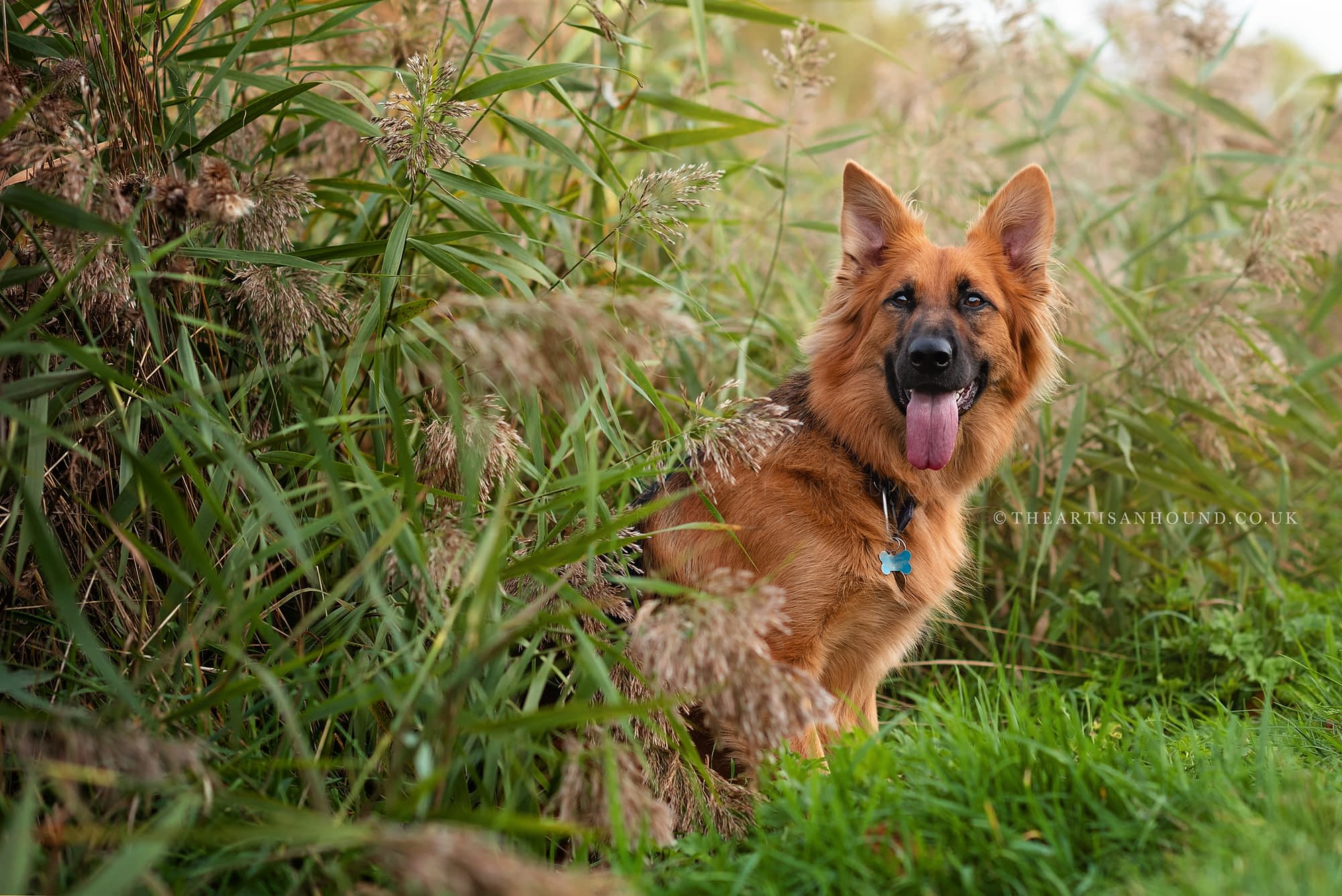 GSD dog sitting in reed bed in Kettering park