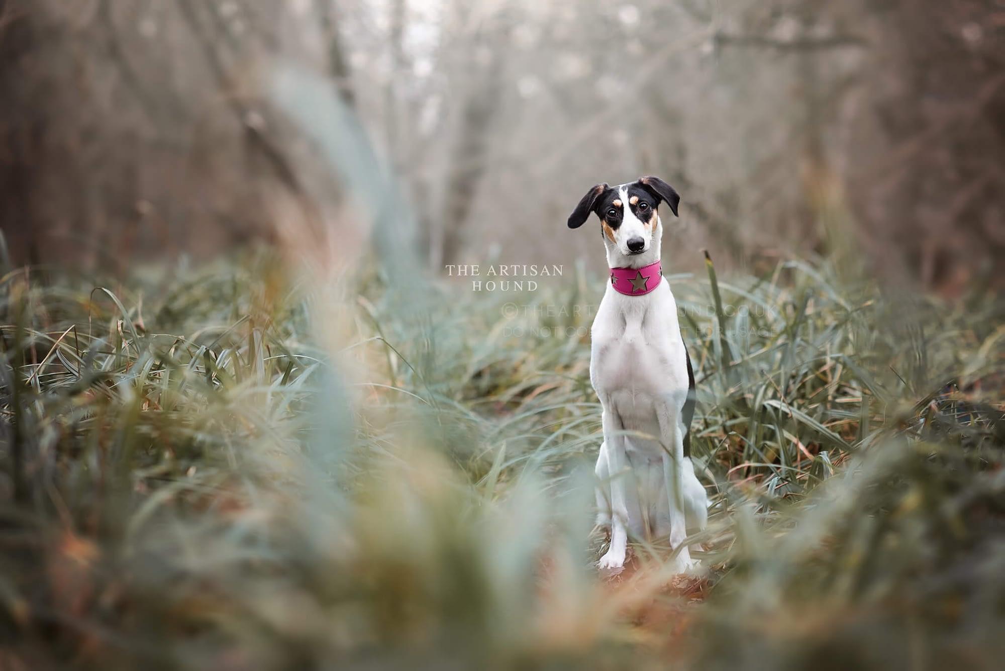 Lurcher sitting in woodland bushes
