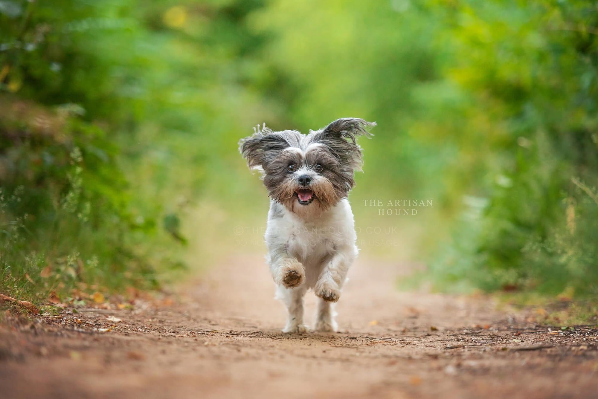 LIttle dog running towards camera