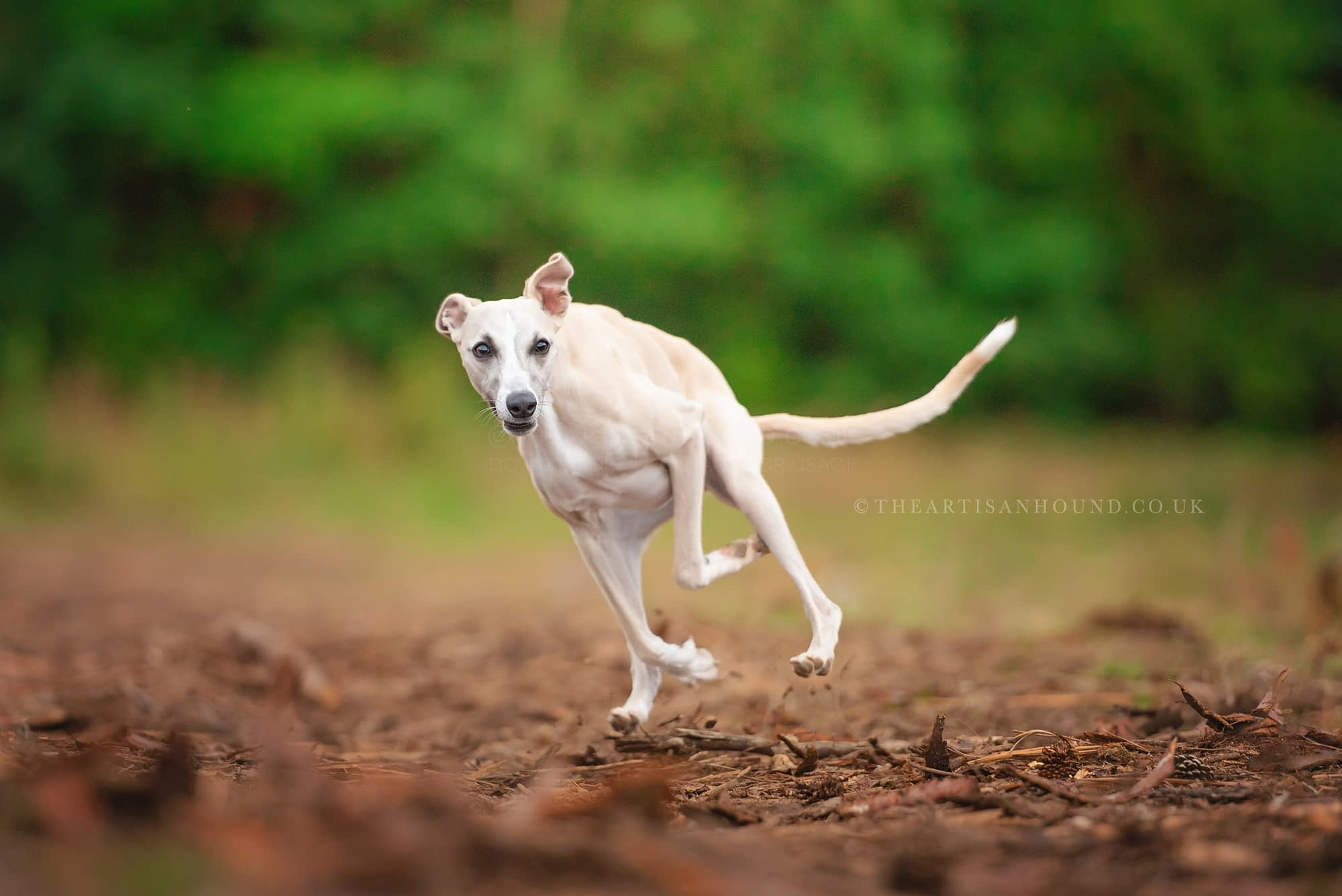 Whippet running quickly through woods