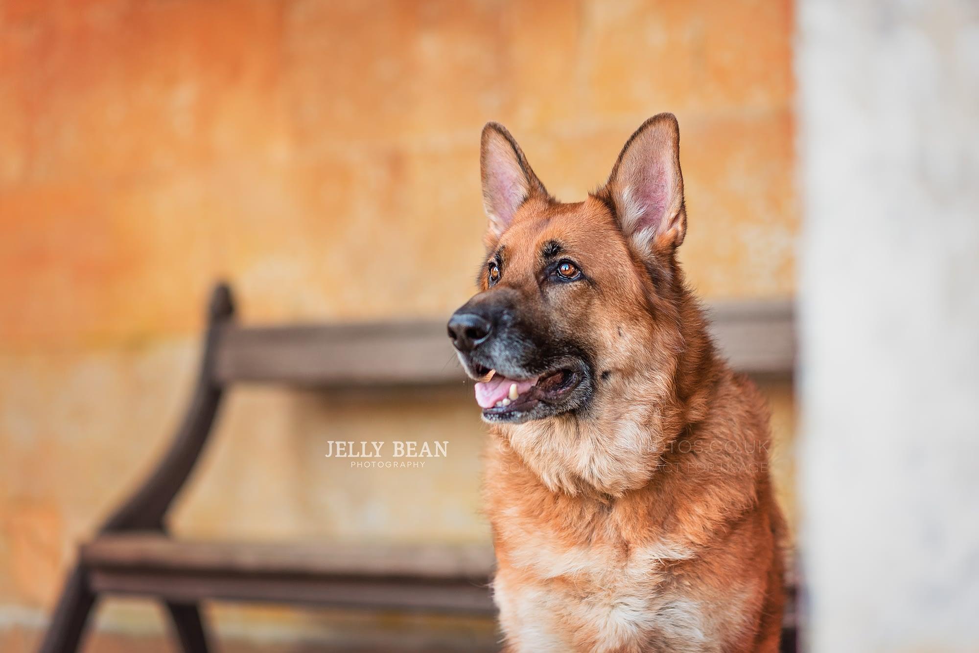 German shepherd dog portrait photography