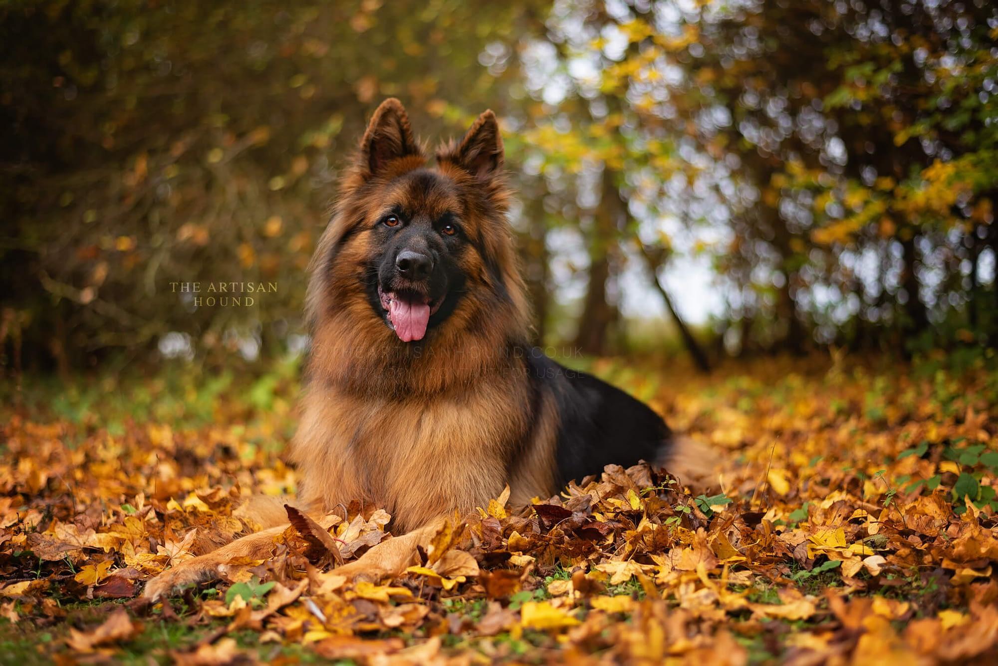 German Shepherd dog lying down in fallen autumn leaves
