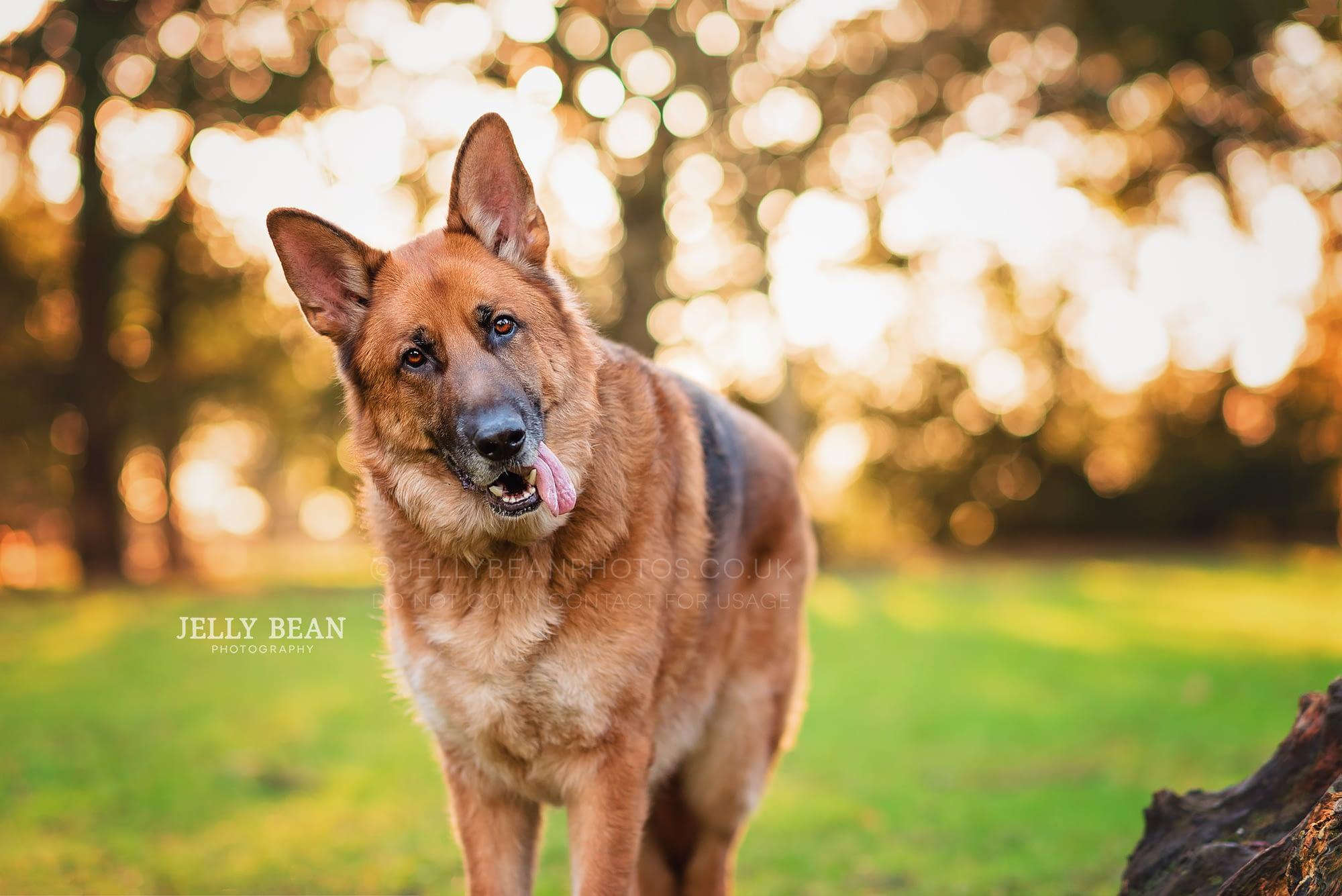 Germand shepherd dog with head tilt