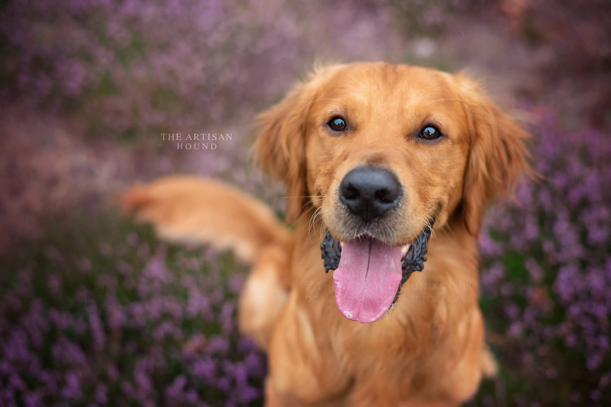 Golden Retriever sitting in field of heather in Northamptonshire woodland