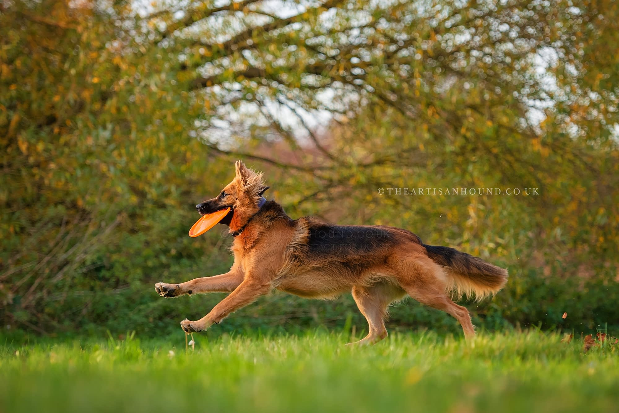 Dog running through park with frisbee