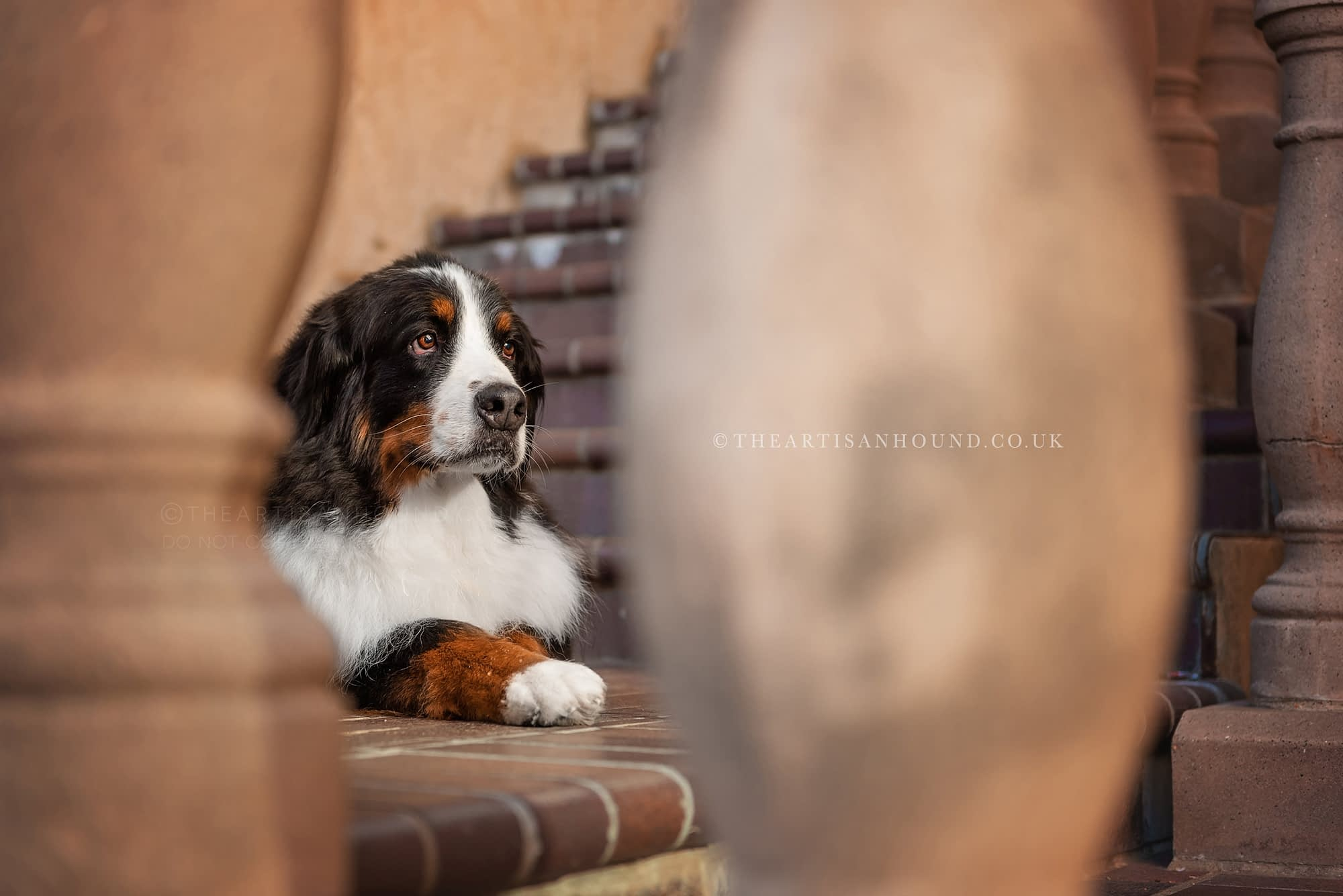 Bernese mountain dog sitting on steps