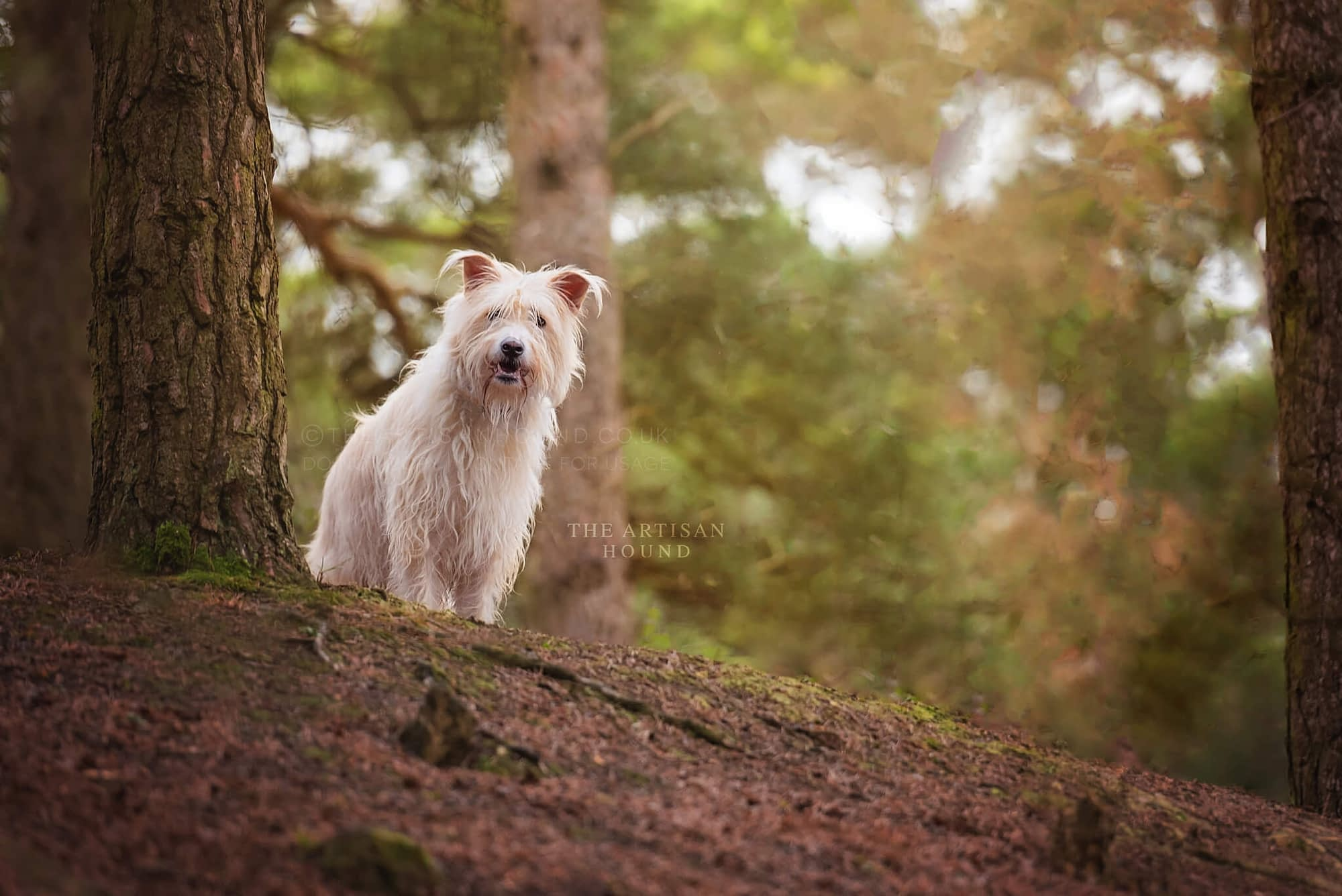 Bulgarian mixed breed dog on hill in woods