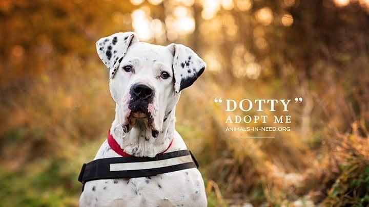 adoption photo of great dane mastiff dog