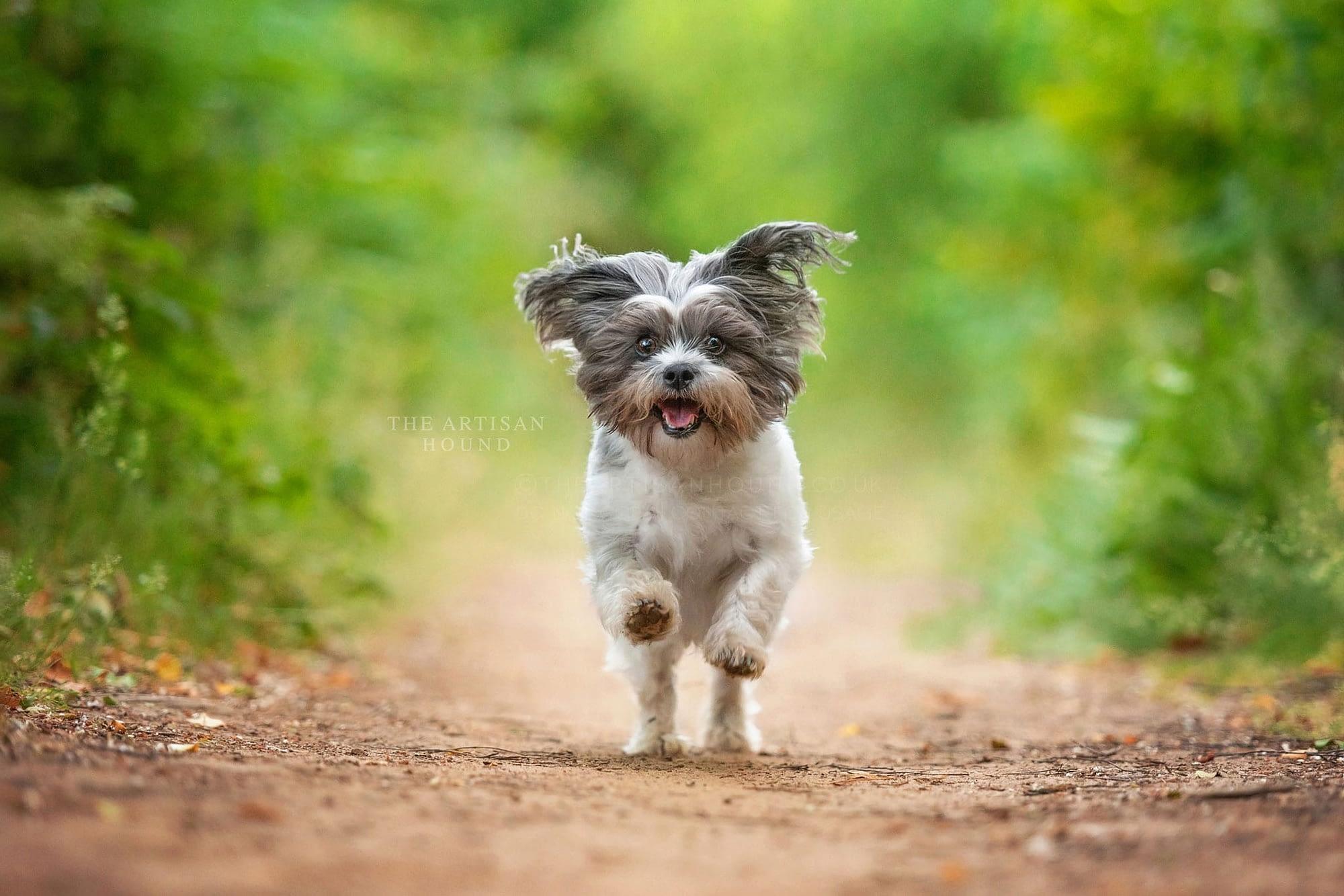 Small Shih Tzu cross dog running through woods