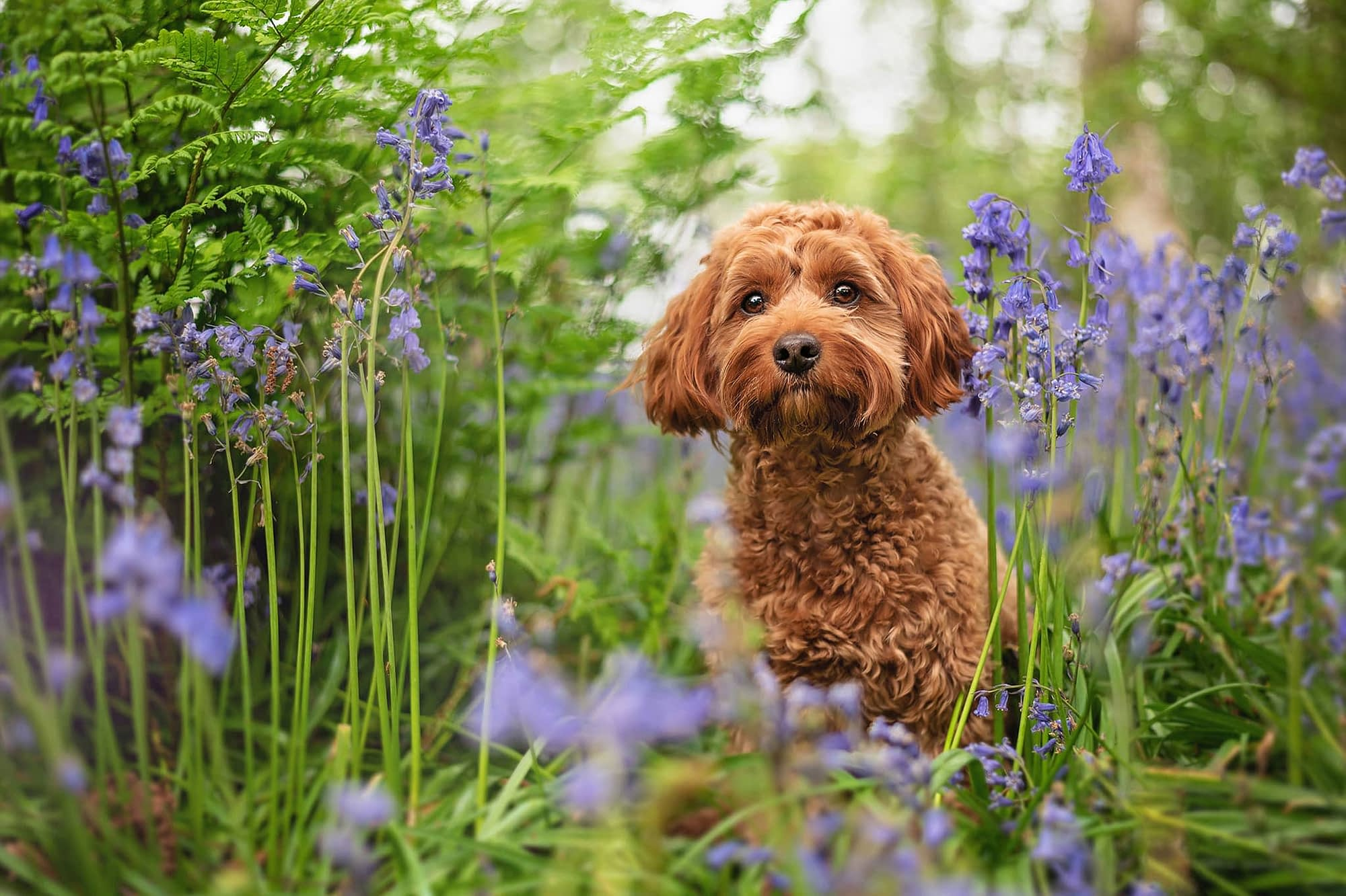 brown cockapoo in coventry bluebell woods
