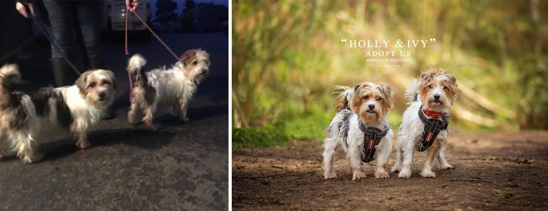 before after photo of two scruffy dogs