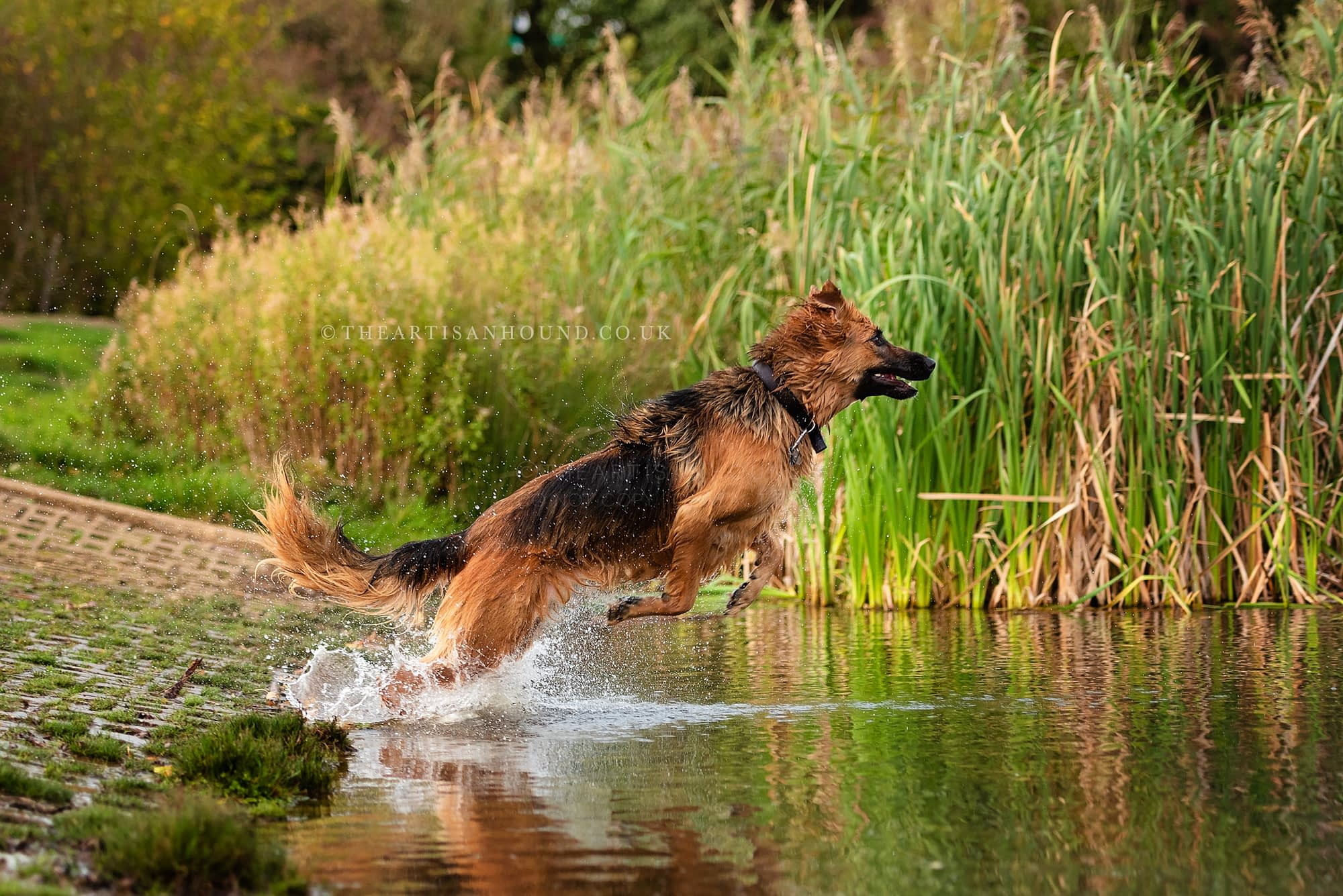 Dogs jumping into water