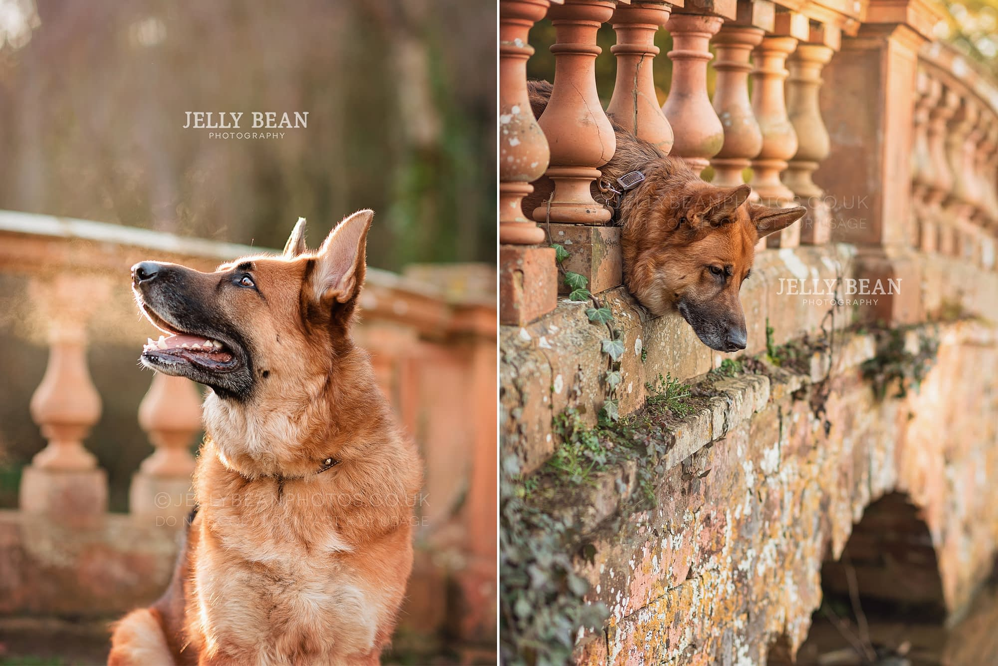 German Shepherd dog looking over bridge