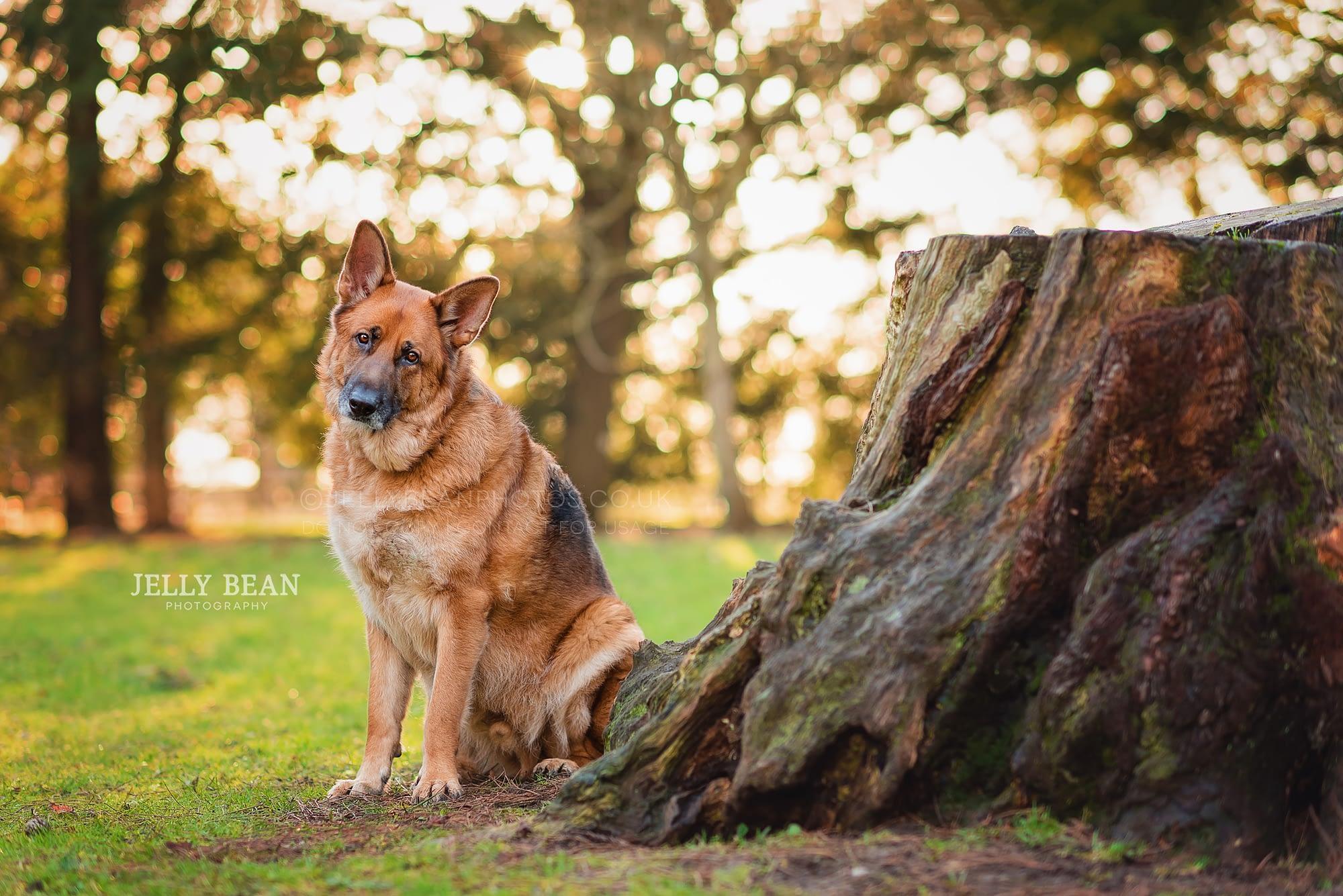 German shepherd sitting by tree trunk