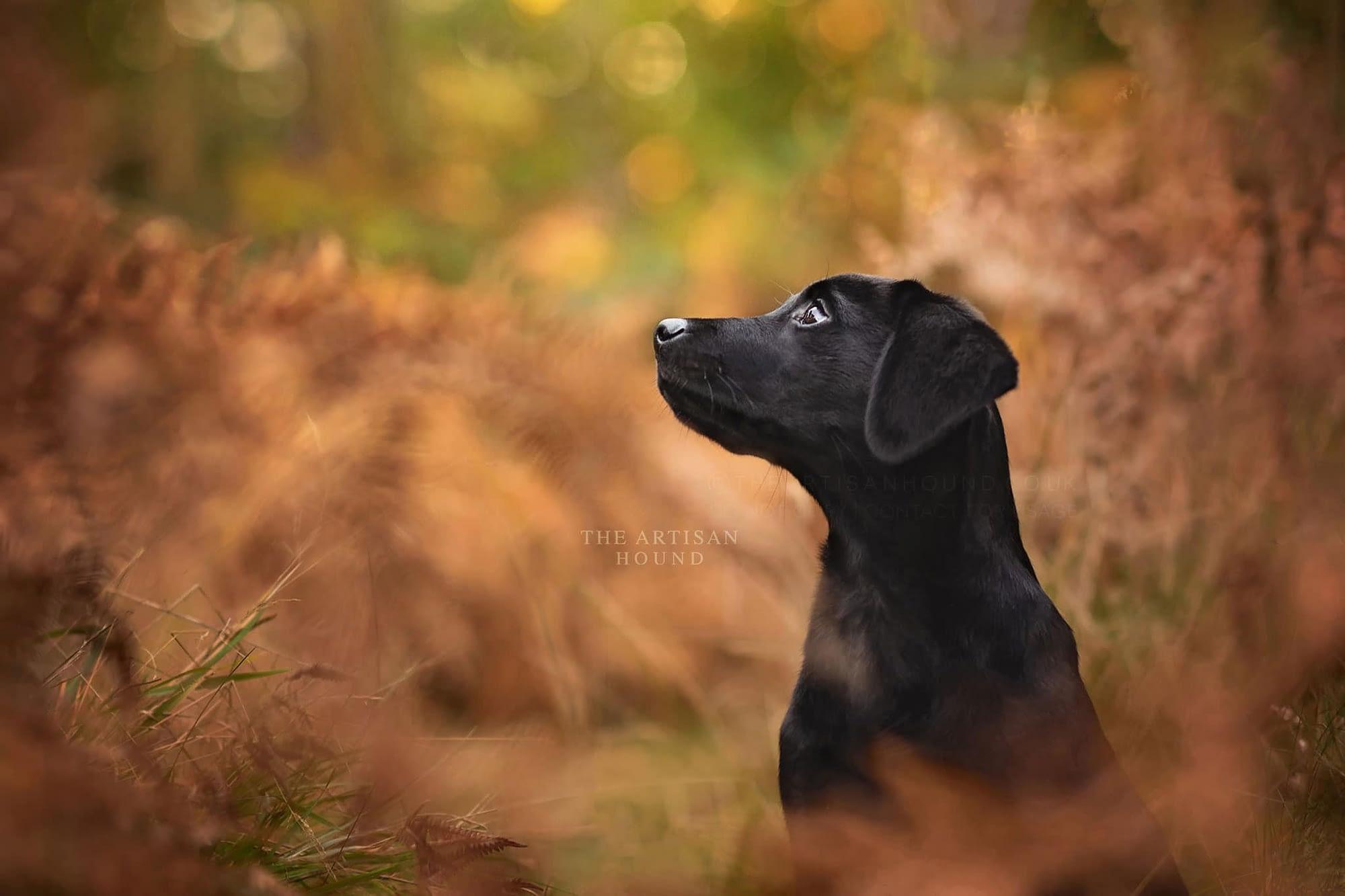 Black lab puppy sitting in autumn bracken and ferns