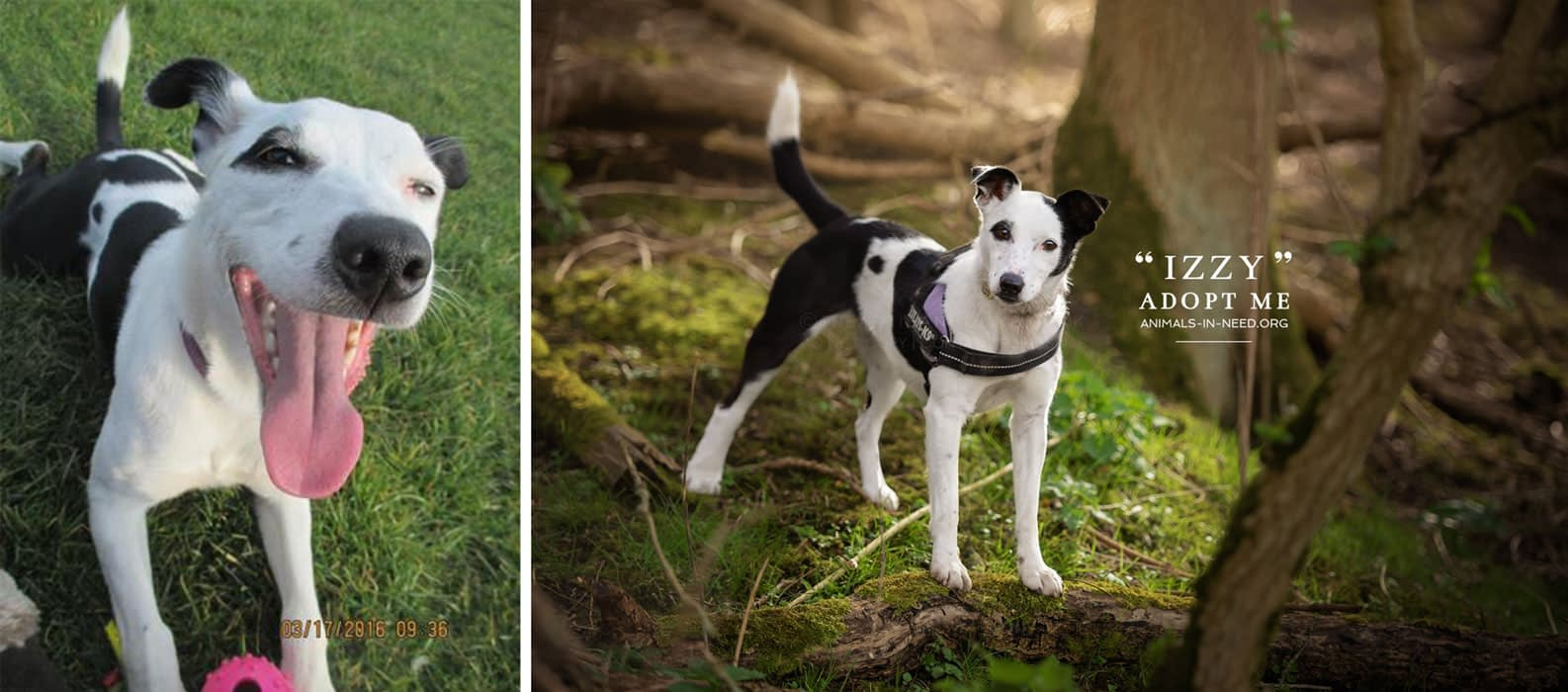 before after photo of jack russell mix dog
