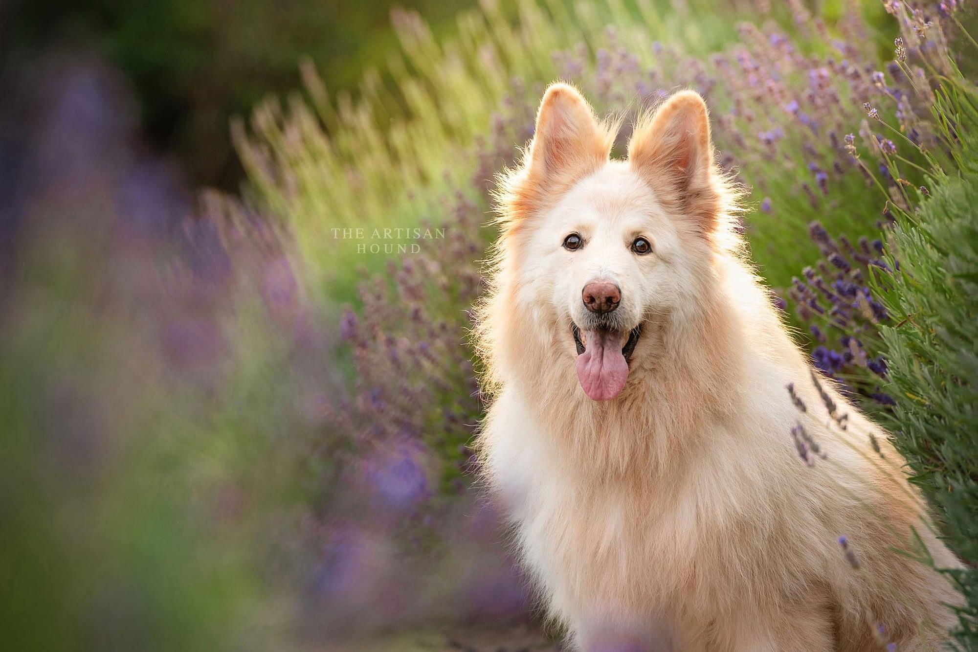 White German Shepherd sitting among lavender bushes