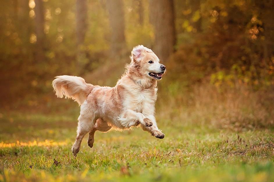 Golden Retriever running in country park