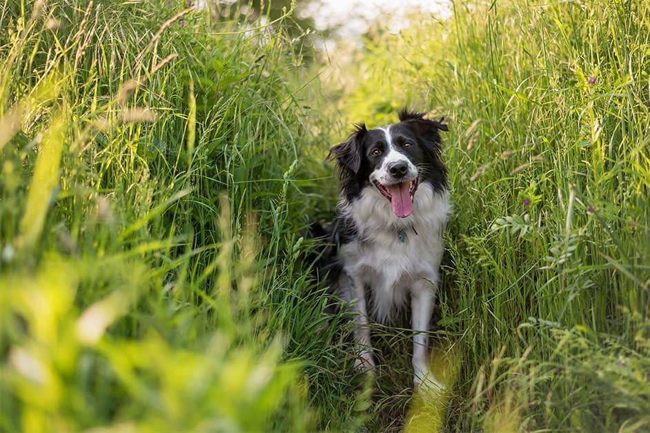border collie sitting in reeds