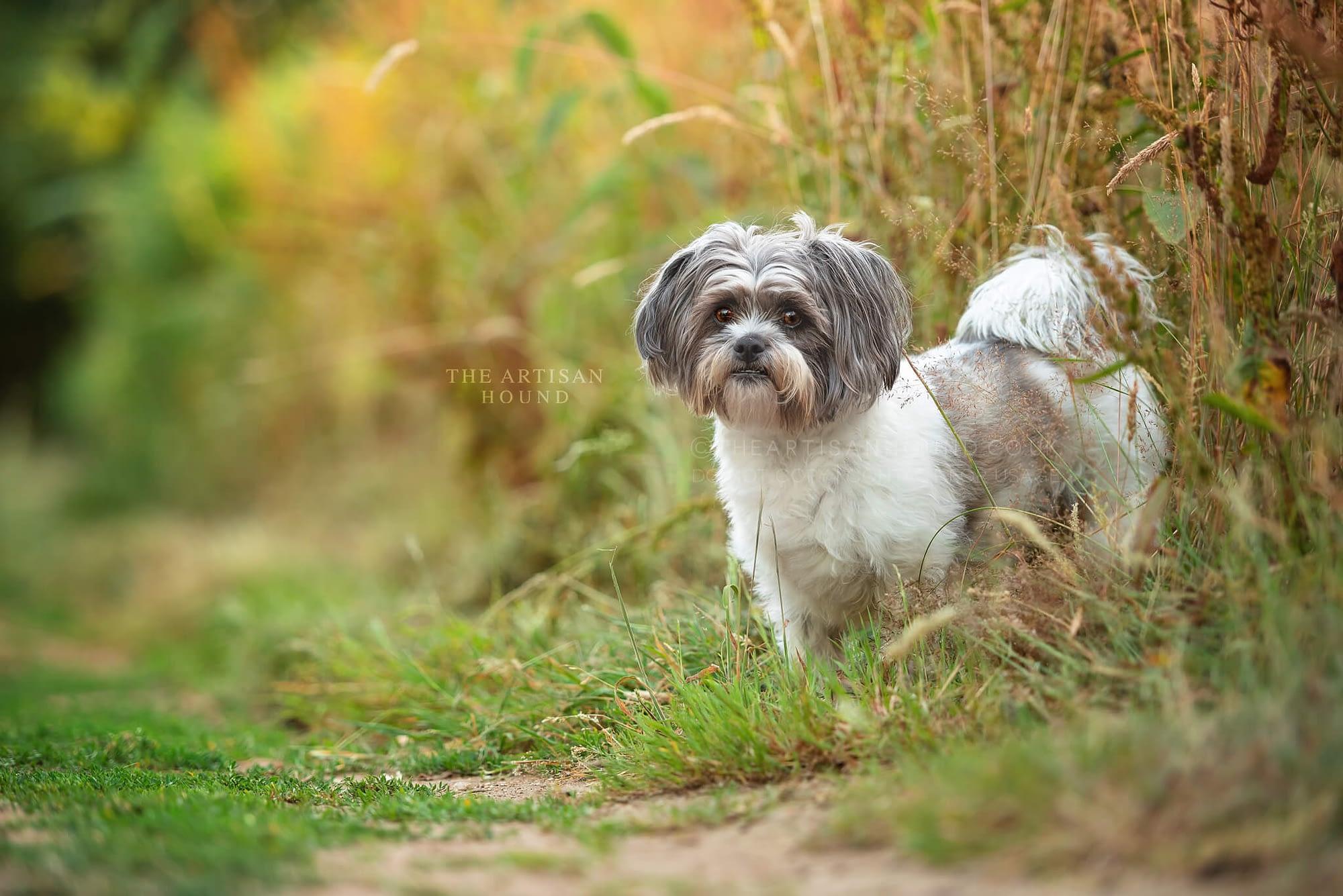 Little scruffy dog standing in dry summer grass