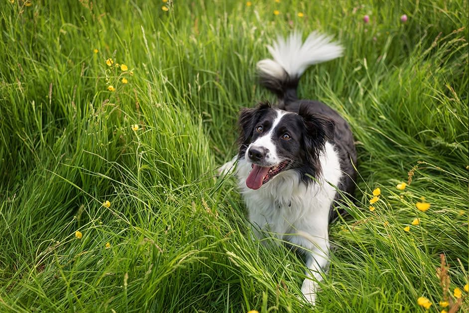 border collie dog sitting in long grass looking up
