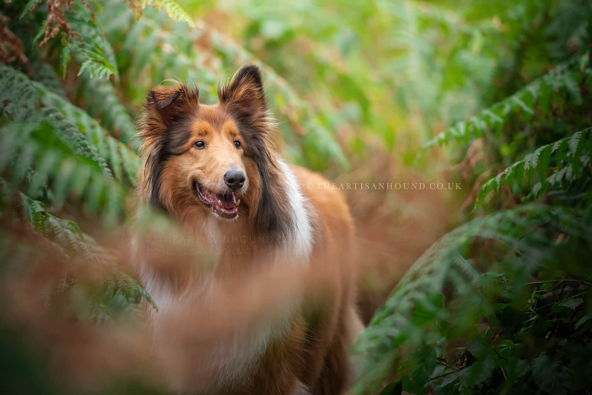 Rough Collie standing in ferns
