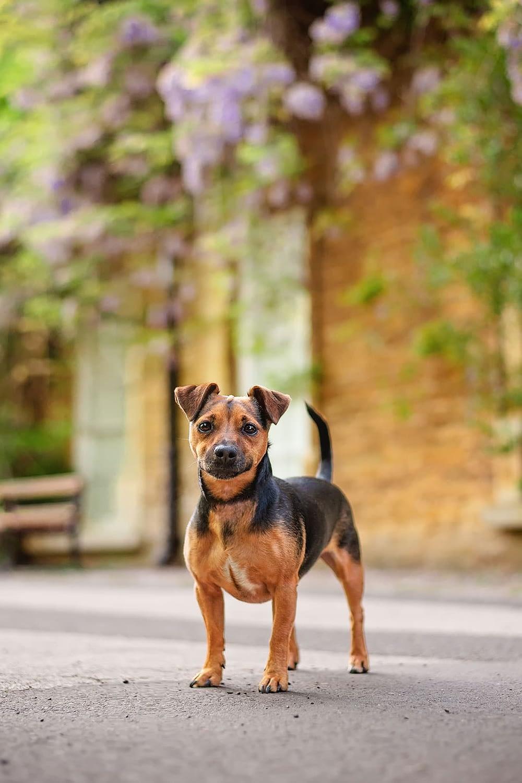 JRT puppy standing in northampton park