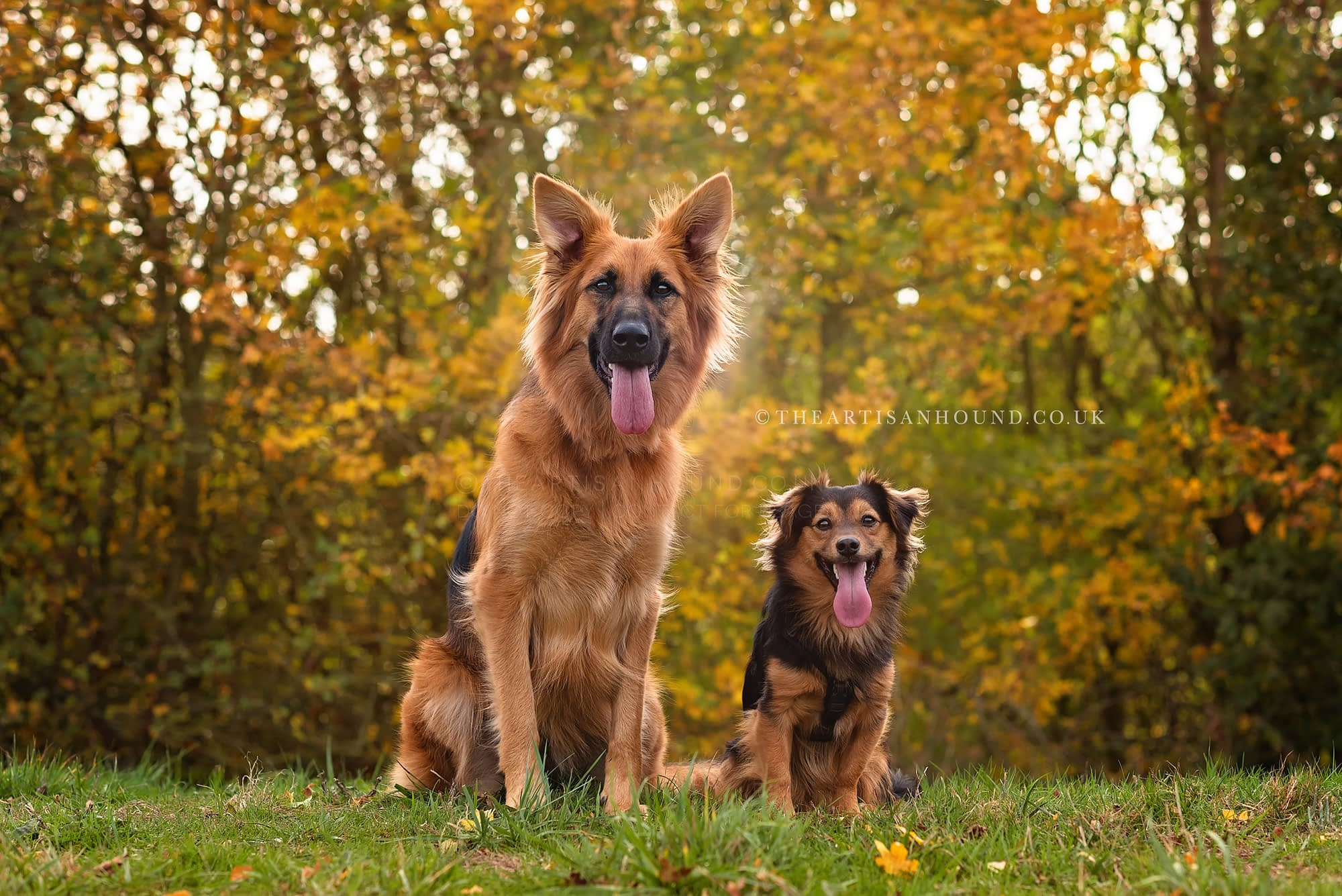 German Shepherd mix and small crossbreed sitting together in park
